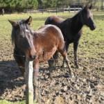 Pferde früh auf der Koppel